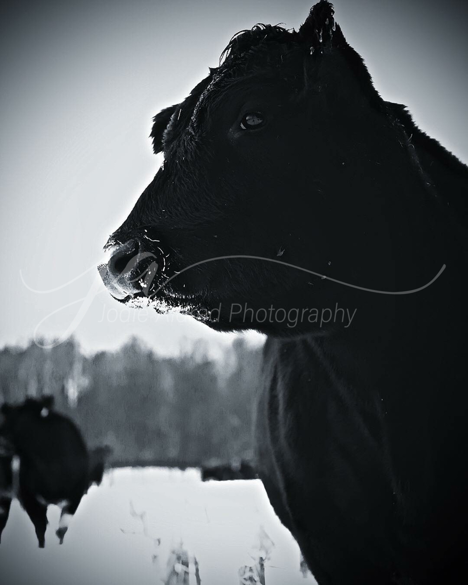 Jodie-Aldred-Photography-Ontario-Agriculture-Farm-Steer-Cow-Calf-Heifer-Cattle-Face-Black-White-Winter.jpg