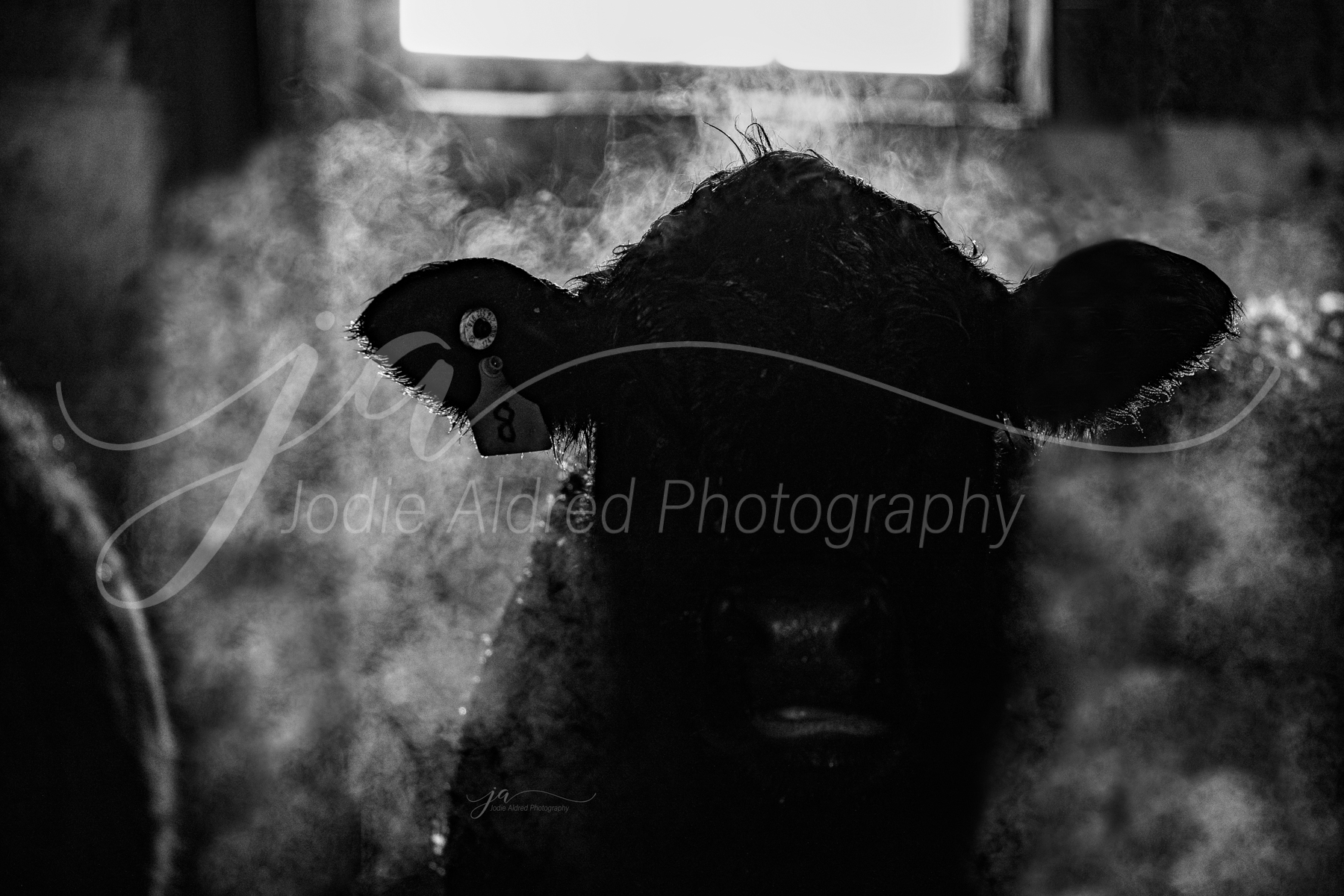Jodie-Aldred-Photography-Ontario-Agriculture-Photographer-cattle-fog-barn-steer-cow-steam-winter.jpg