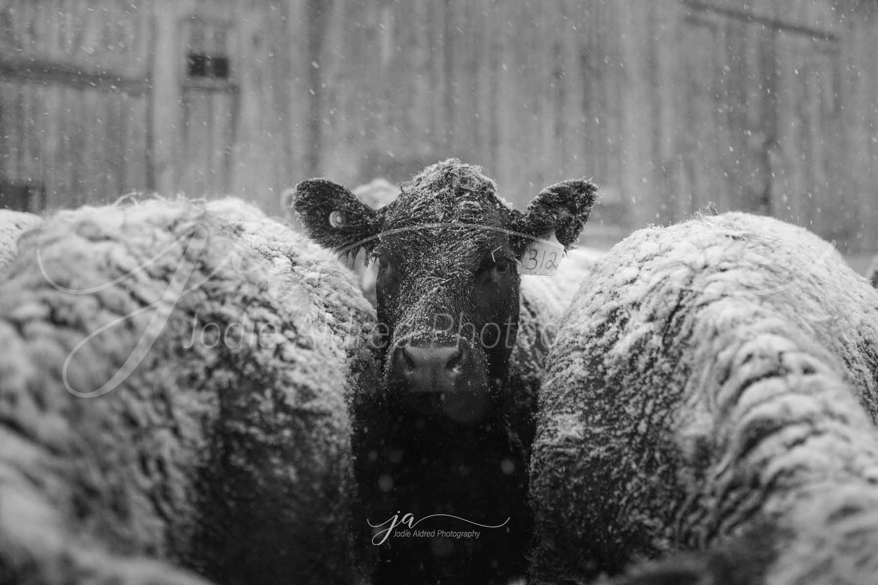 Jodie-Aldred-Photography-Ontario-Agriculture-Photographer-cattle-outdoors-barnyard-snow-winter.jpg
