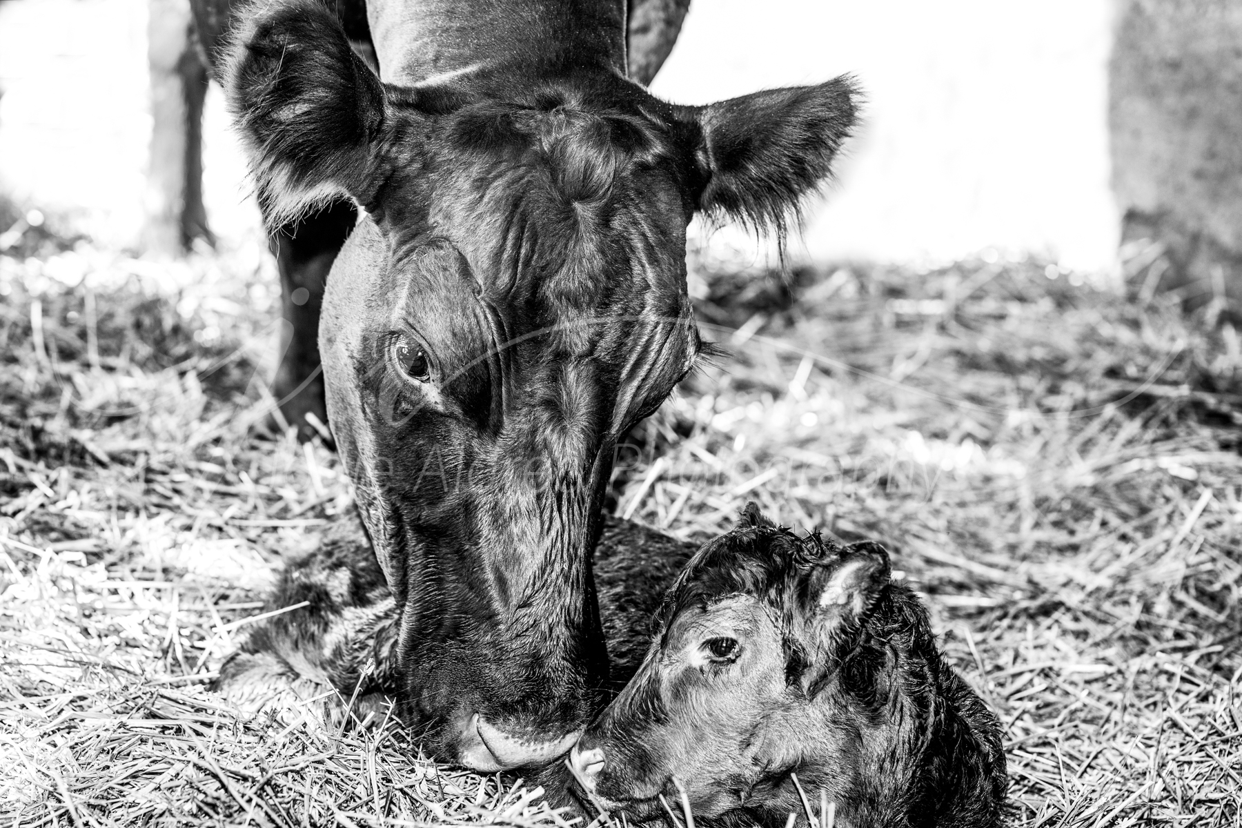 Jodie-Aldred-Photography-Ontario-Agriculture-Photographer-Farm-Black-White-Cow-Calf-Barn-Straw.jpg