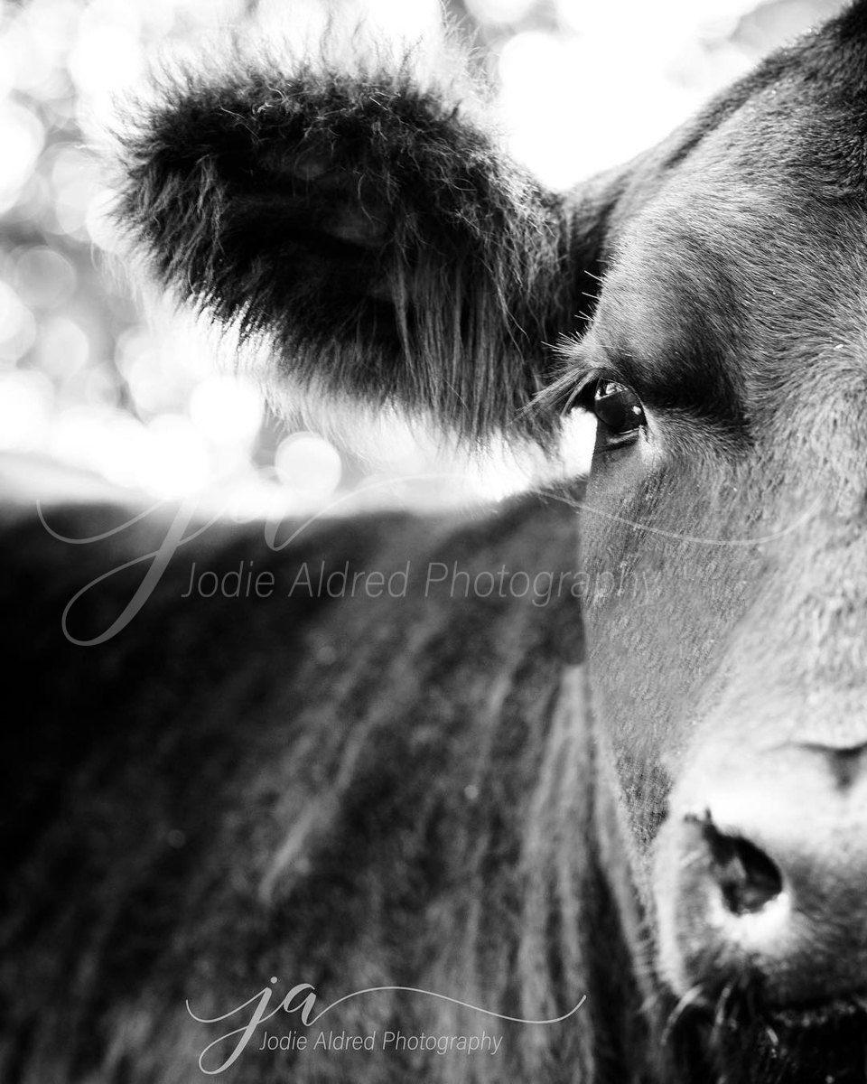 Jodie-Aldred-Photography-Ontario-Agriculture-Photographer-Farm-Outdoors-Nature-Middlesex-Elgin-Chathma-Kent-Huron-Photographer-steer-face-black-white.jpg
