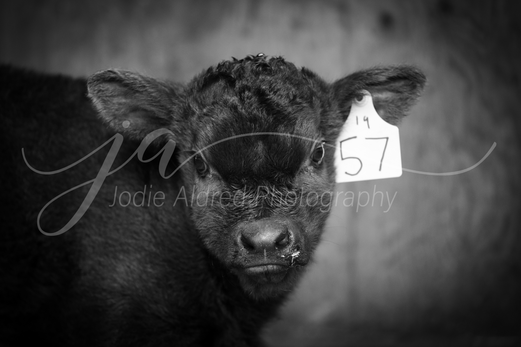 Jodie-Aldred-Photography-White-Black-Snow-Winter-Barnyard-Ontario-Agriculture-Farm-Winter-Barn-Calf-Cow-Cattle.jpg