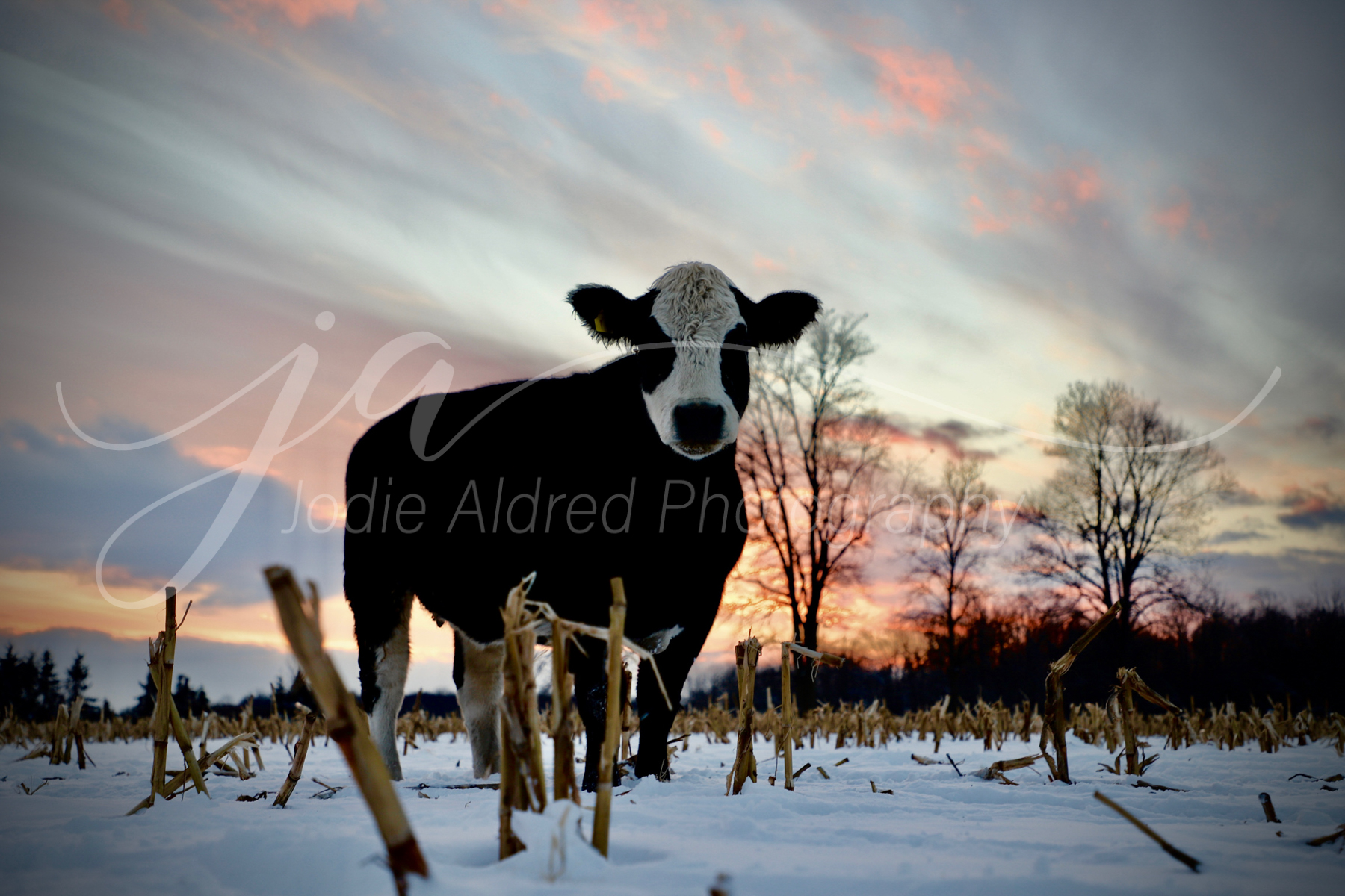 Jodie-Aldred-Photography-Cow-Steer-Calf-Cattle-Black-White-Snow-Winter-Barnyard-Ontario-Agriculture-Sunset-Corn.jpg
