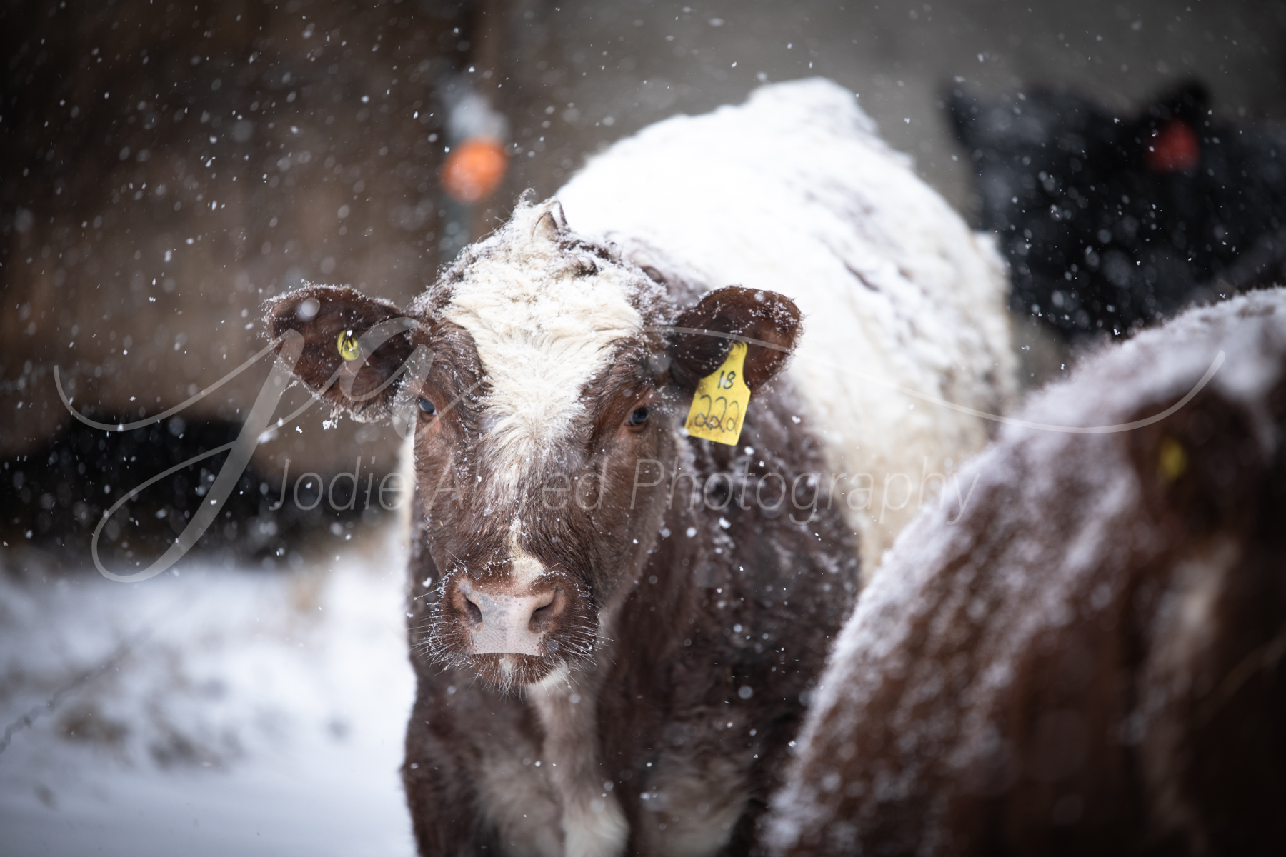 Jodie-Aldred-Photography-Cow-Steer-Calf-Cattle-Red-White-Snow-Winter-Barnyard-Ontario-Agriculture.jpg