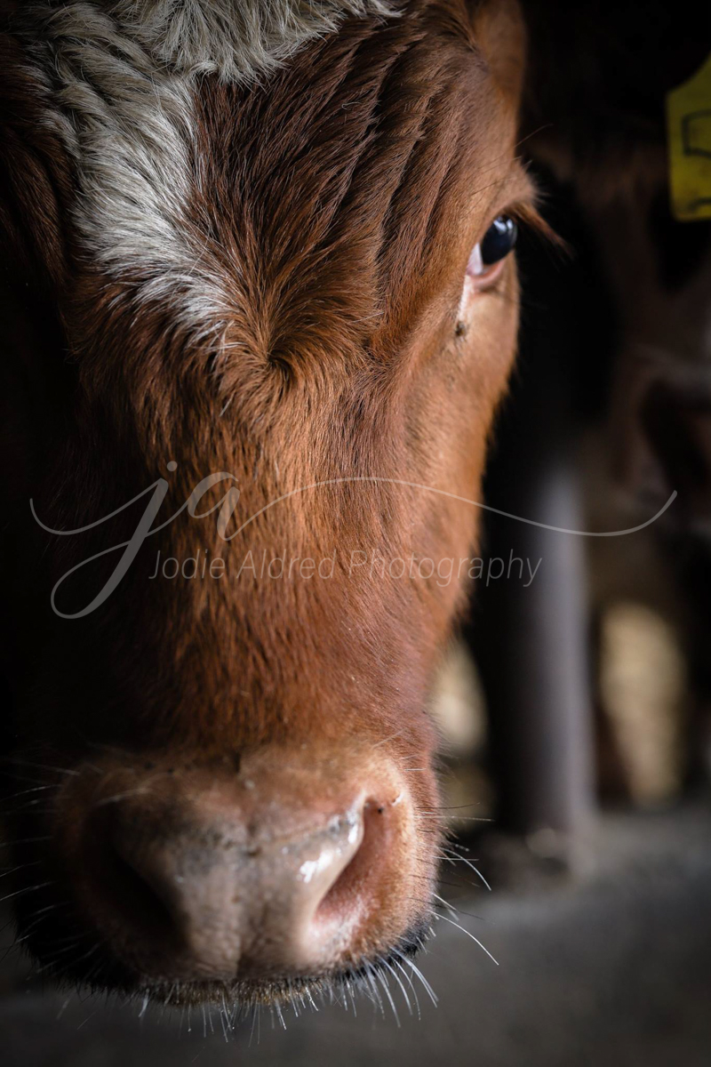 Jodie-Aldred-Photography-Ontario-Agriculture-Photographer-cattle-red-white-face-feed.jpg