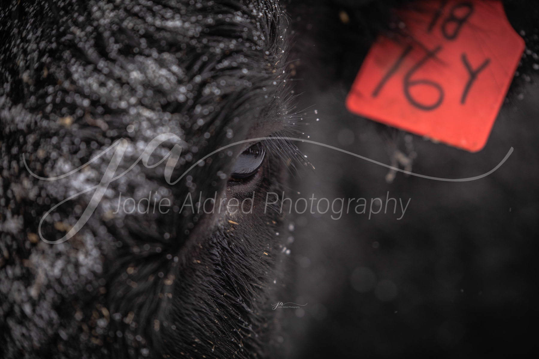 Jodie-Aldred-Photography-Ontario-Agriculture-Photographer-face-barn-cattle-snow-winter.jpg