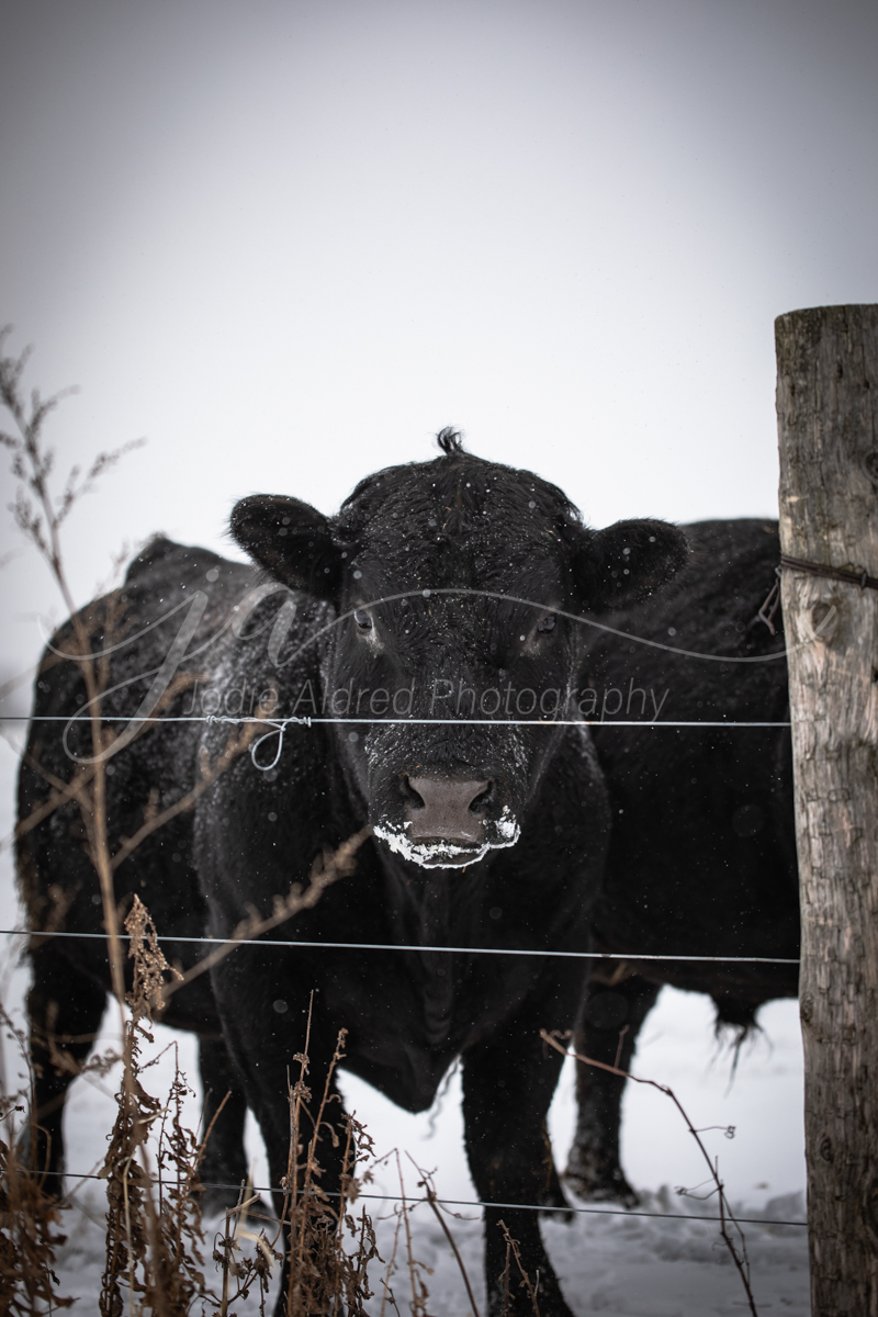 Jodie-Aldred-Photography-Ontario-Agriculture-Photographer-Farm-Outdoors-Nature-Middlesex-Elgin-Chathma-Kent-Huron-Photographer-bull-cattle-cow-post-winter-snow.jpg