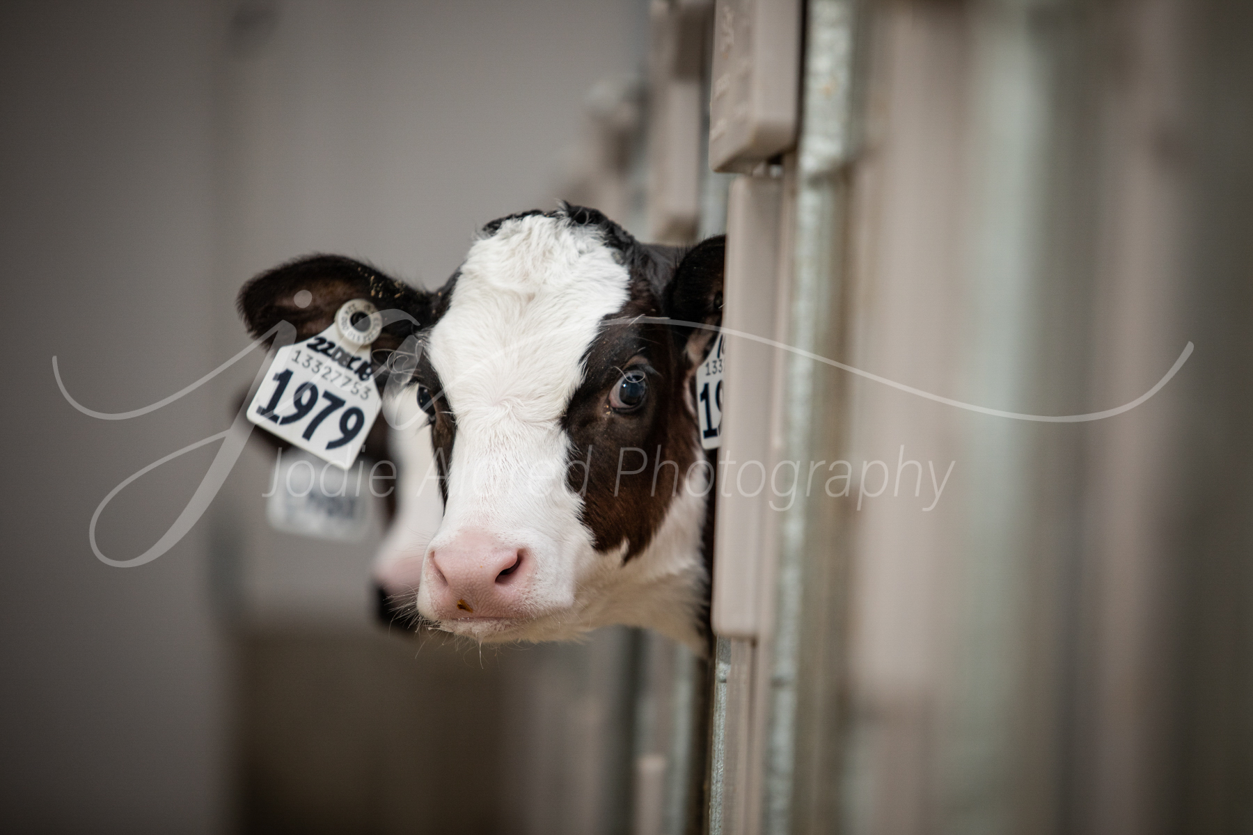 Jodie-Aldred-Photography-Ontario-Agriculture-Photographer-Farm-Outdoors-Nature-Middlesex-Elgin-Chathma-Kent-Huron-Photographer-calf-dairy-cattle-barn.jpg