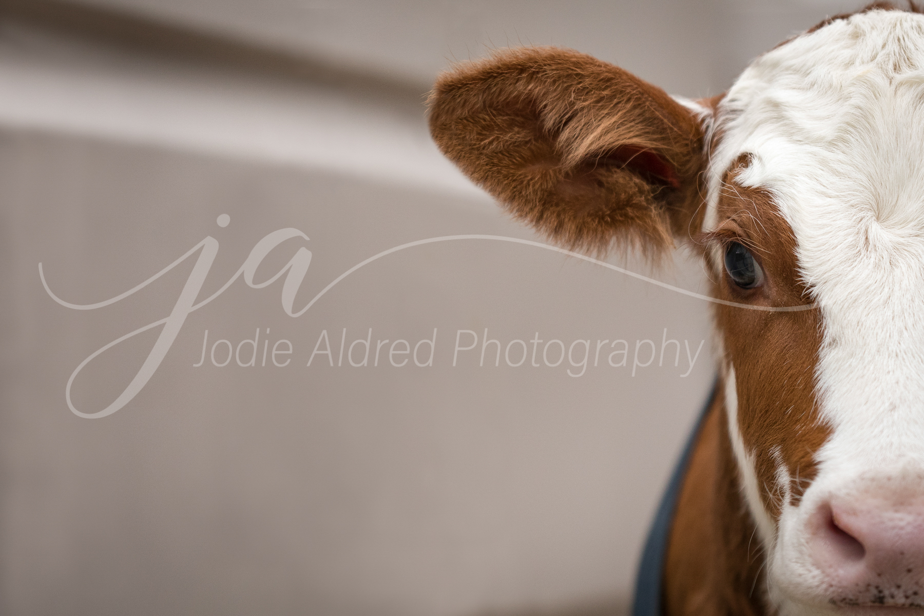 Jodie-Aldred-Photography-Ontario-Agriculture-Photographer-Farm-Outdoors-Nature-Middlesex-Elgin-Chathma-Kent-Huron-Photographer-calf-dairy-red-white-face-young.jpg