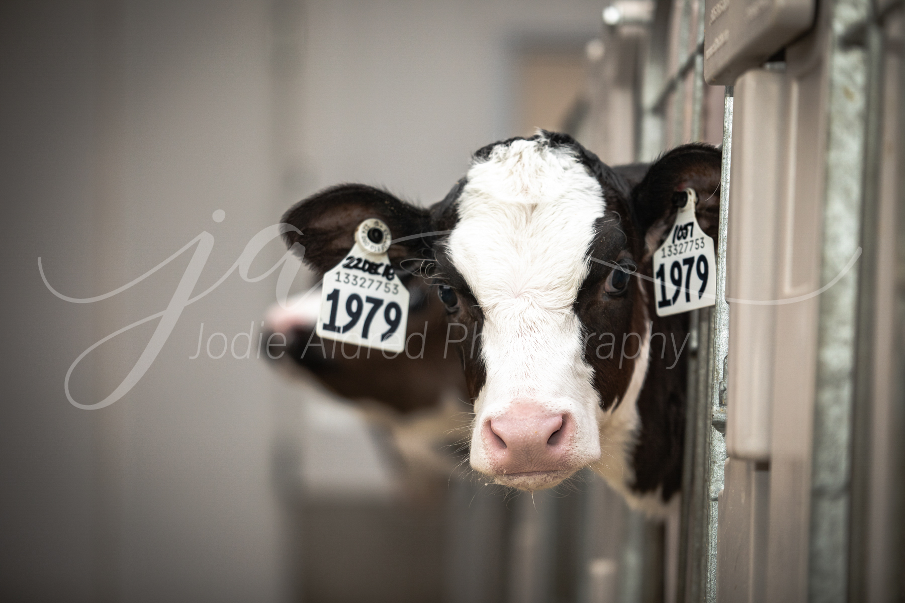 Jodie-Aldred-Photography-Ontario-Agriculture-Photographer-Farm-Outdoors-Nature-Middlesex-Elgin-Chathma-Kent-Huron-Photographer-calf-dairy.jpg