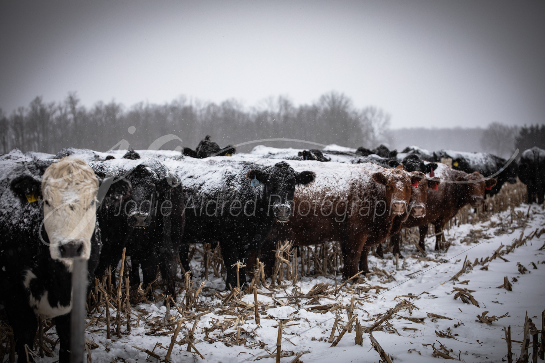 Jodie-Aldred-Photography-Ontario-Agriculture-Photographer-Farm-Outdoors-Nature-Middlesex-Elgin-Chathma-Kent-Huron-Photographer-cattle-winter-snow-herd.jpg