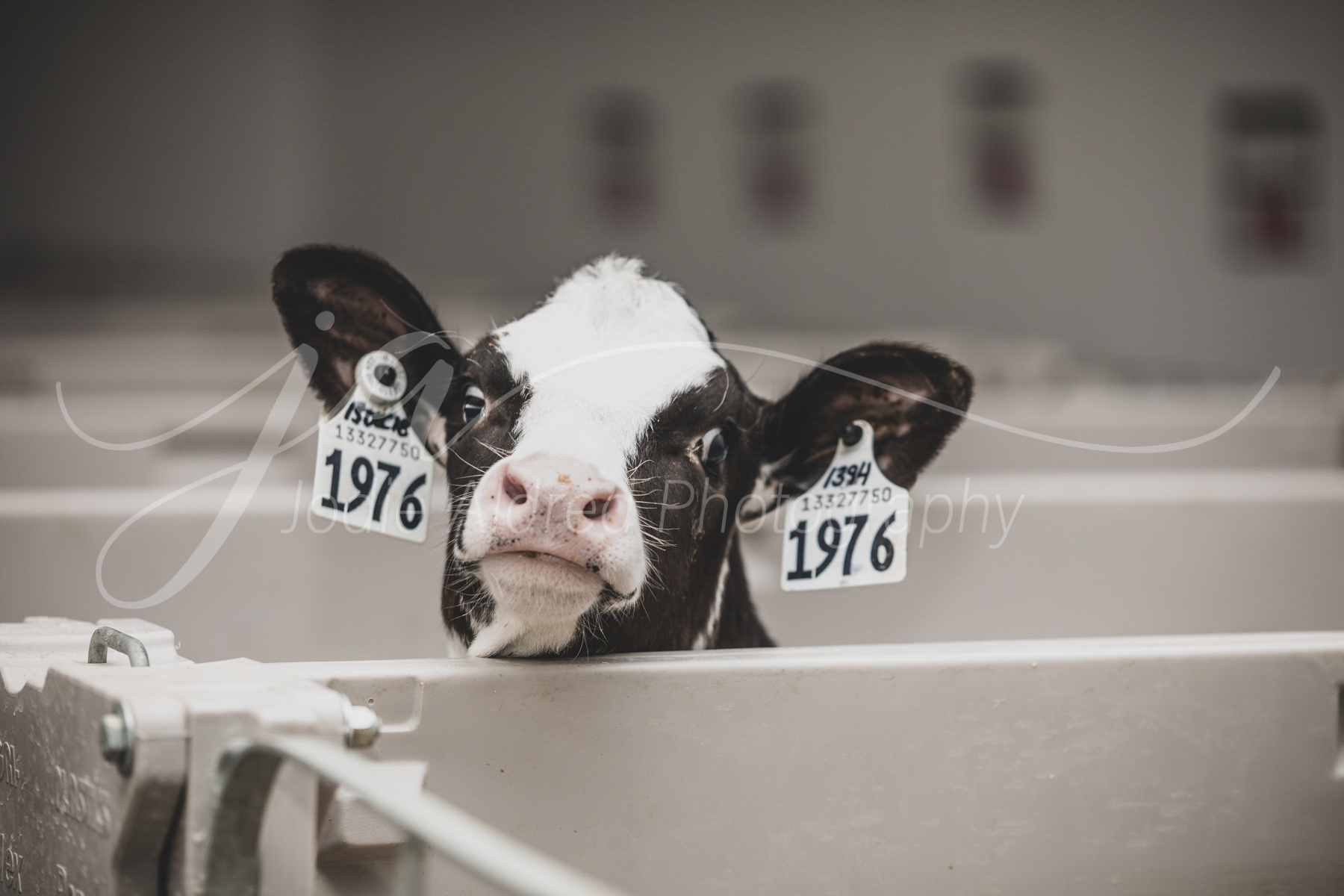Jodie-Aldred-Photography-Ontario-Agriculture-Photographer-Farm-Outdoors-Nature-Middlesex-Elgin-Chathma-Kent-Huron-Photographer-dairy-calf-looking-cute.jpg