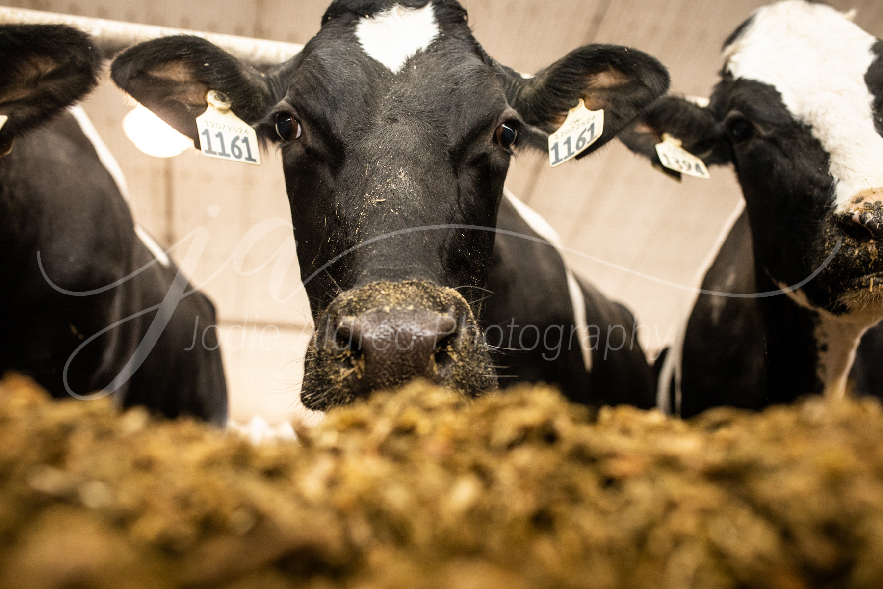 Jodie-Aldred-Photography-Ontario-Agriculture-Photographer-Farm-Outdoors-Nature-Middlesex-Elgin-Chathma-Kent-Huron-Photographer-dairy-cattle-barn-feed-eat-food-winter.jpg
