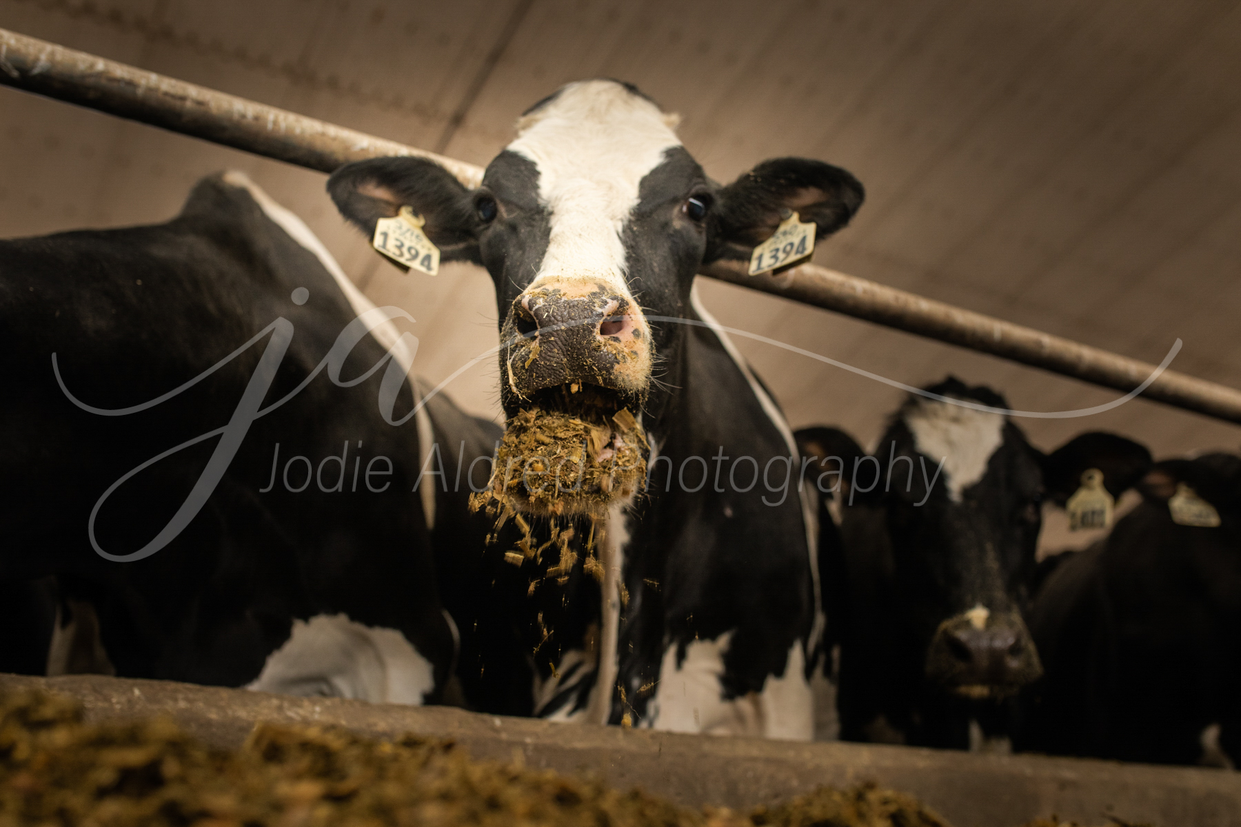 Jodie-Aldred-Photography-Ontario-Agriculture-Photographer-Farm-Outdoors-Nature-Middlesex-Elgin-Chathma-Kent-Huron-Photographer-dairy-eat-feed-barn-cow-cattle.jpg