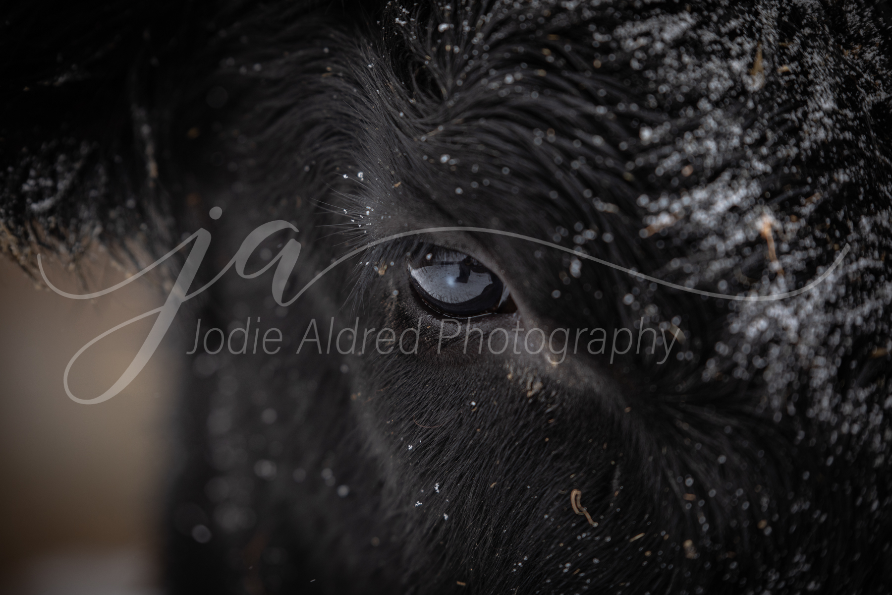 Jodie-Aldred-Photography-Ontario-Agriculture-Photographer-Farm-Outdoors-Nature-Middlesex-Elgin-Chathma-Kent-Huron-Photographer-eye-cow-cattle-snow-winter.jpg