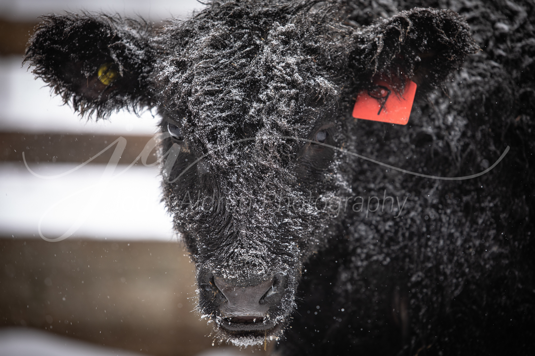 Jodie-Aldred-Photography-Ontario-Agriculture-Photographer-Farm-Outdoors-Nature-Middlesex-Elgin-Chathma-Kent-Huron-Photographer-steer-cow-winter-cattle-snow.jpg