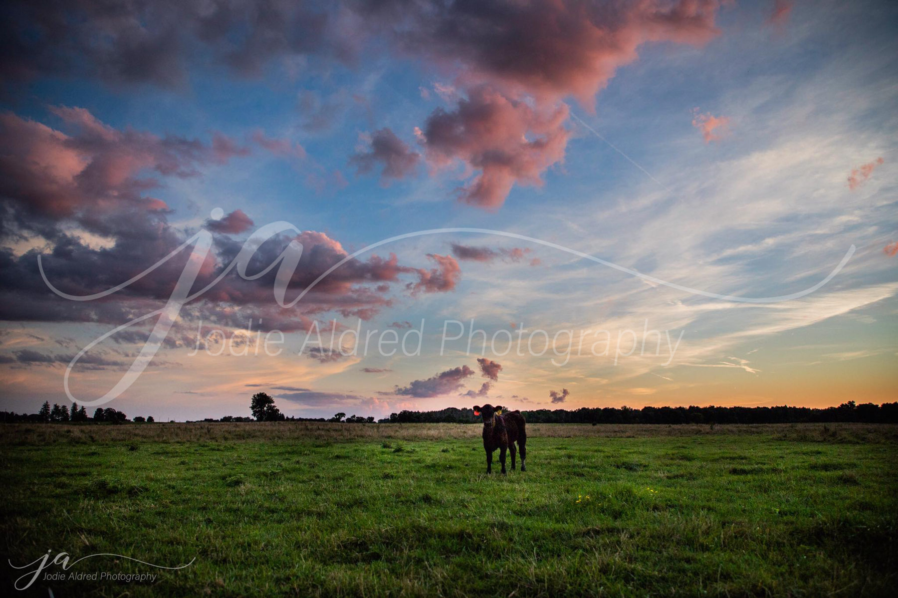 Jodie-Aldred-Photography-Ontario-Agriculture-Photographer-Farm-Sunset-Cattle-calves-cow-calf-sky-outdoors.jpg