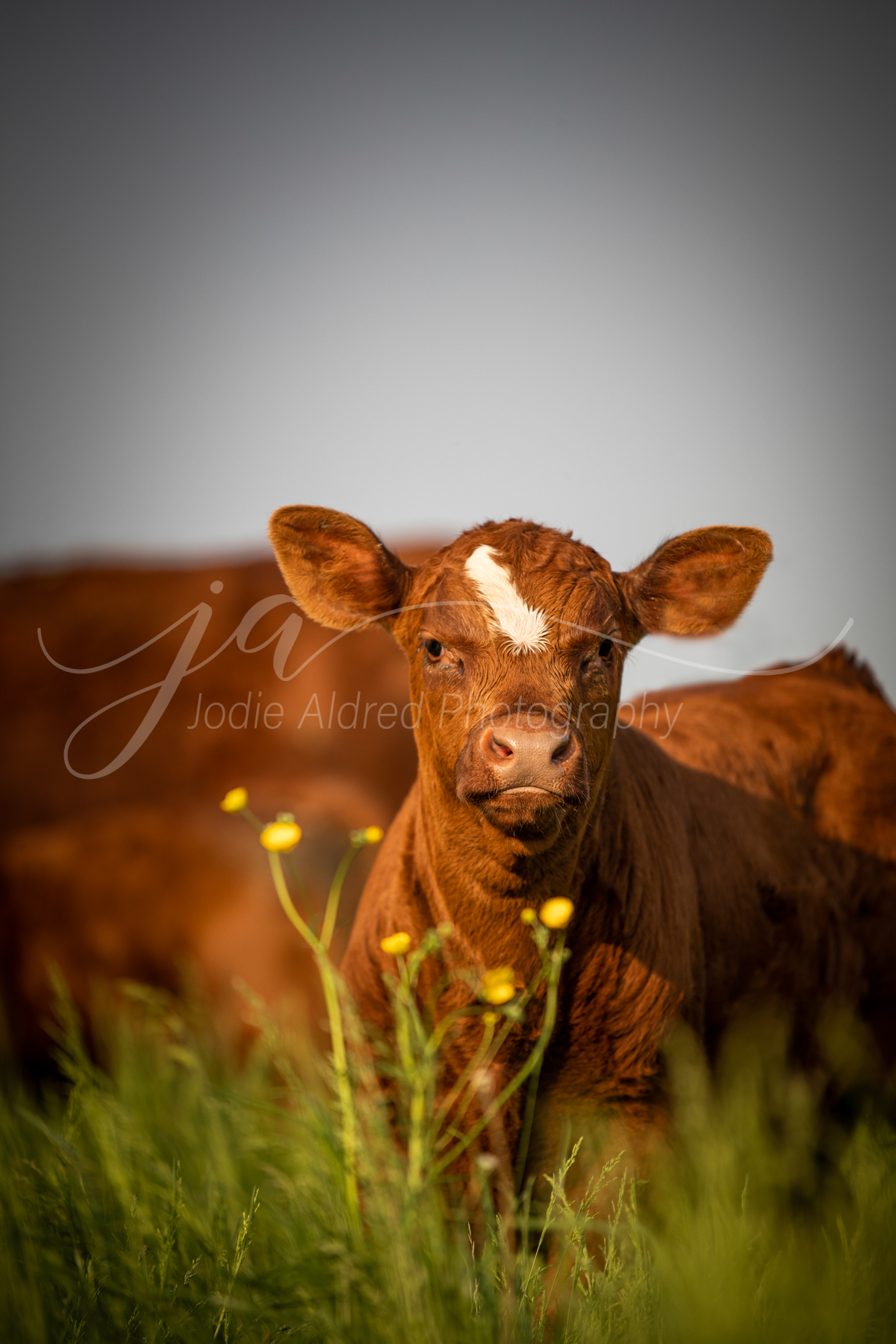 agricultural-photographer-jodie-aldred-ontario-elgin-chatham-huron-lambton-london-middlesex-farm-calf-cattle-angus-beef-pasture.jpg