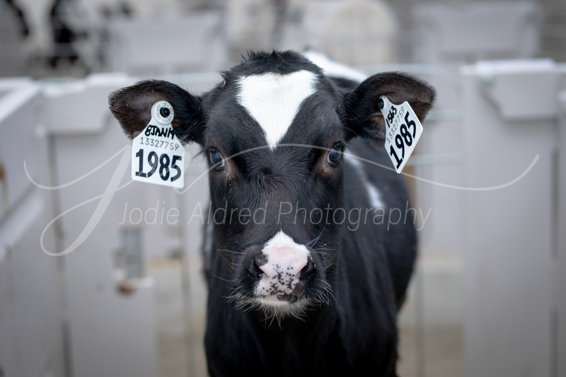 farm-agriculture-rural-farming-cattle-agricultural-photography-jodie-aldred-elgin-huron-middlesex-lambton-london-ontario-canada-agriculture-dairy-calf.jpg