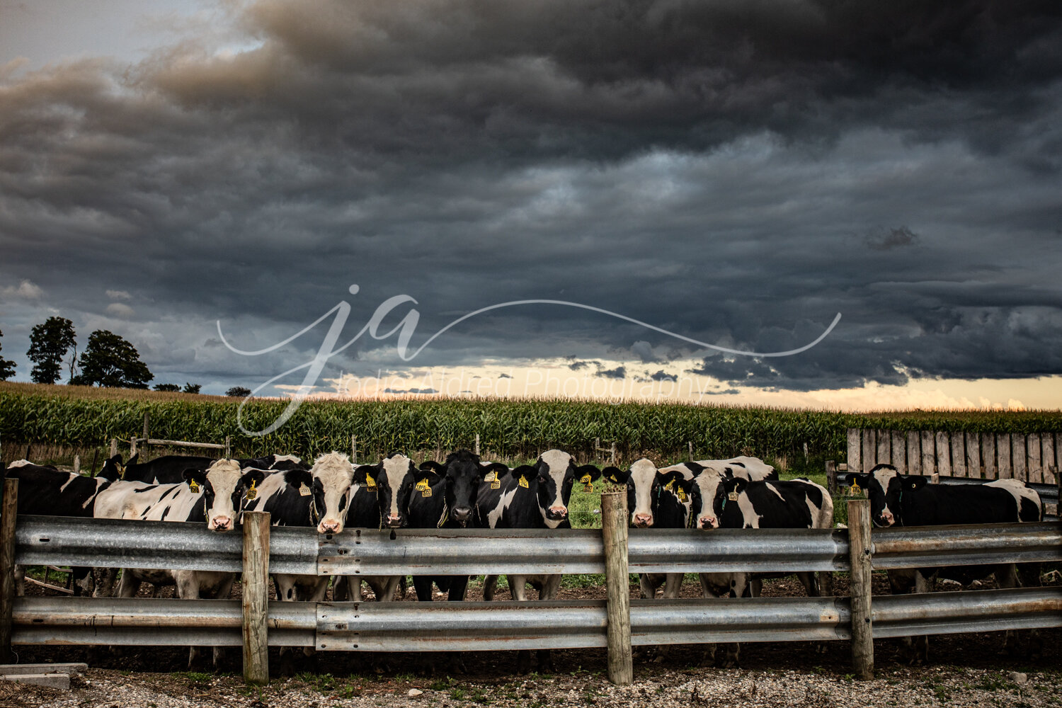 Jodie-Aldred-Photography-Farm-Agricultural-Photographer-Farming-Rural-Country-Chatham-Kent-Ontario-Canadian-Canada-Elgin-Middlesex-London-Huron-Lambton-Farmer-Dairy-Cow-Calf-Cattle-Storm-Corn-Barnyard-Barn-Heifer