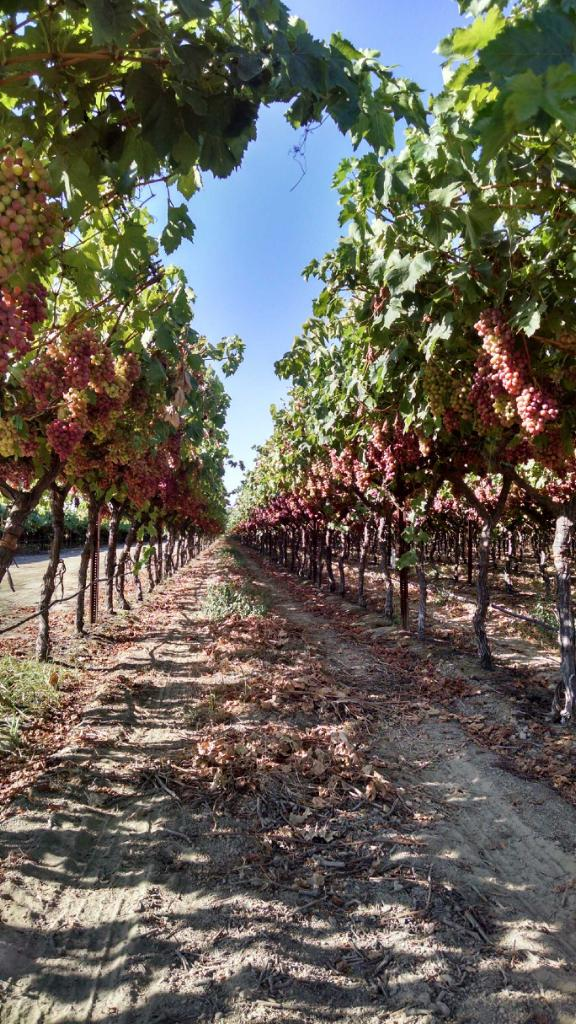 Helm Vineyards ready for harvest  1st year using WGS July 2015.jpg