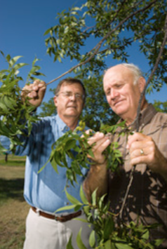 ARS scientists in Weslaco, Texas, are developing new methods to increase yields and organically manage pecan trees. Here, soil scientist Joe Bradford (left) and Danny Phillips, a retired Hamilton County, Texas, Extension agent, inspect pecans from the 2008 crop in the organic study orchard, which is expected to greatly outyield the conventional orchard.