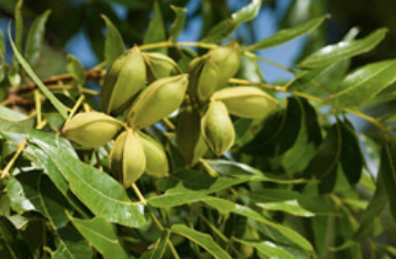 Midseason organic pecan clusters indicating disease-free leaves and nuts and little insect damage.