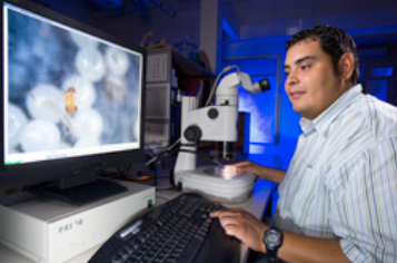 Using a dissecting microscope, biological science aid Jay Alejandro views tiny  Trichogramma  wasps parasitizing insect eggs. Wasps are released into the organic pecan orchard biweekly to control the pests.