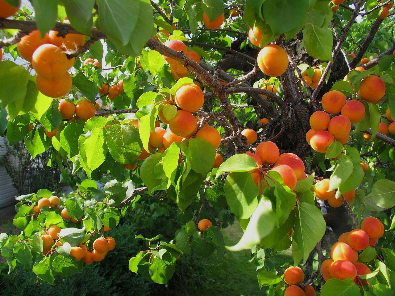 Increased abundance and brix (sweetness)