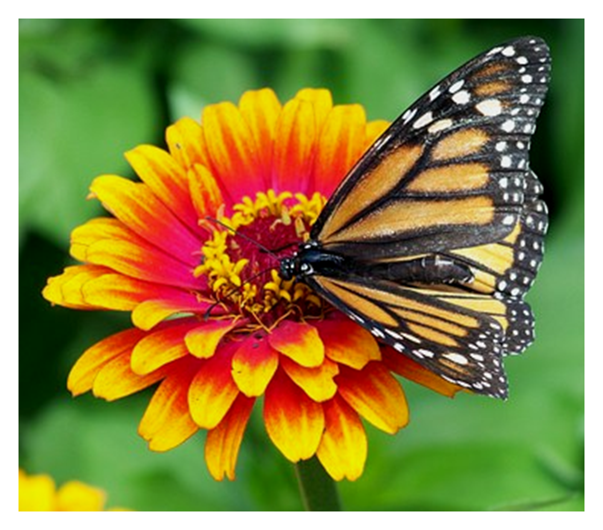 The butterflies love your garden when you use Worm Gold
