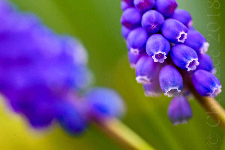 """""""Grape Hyacinth"""", 2013"""