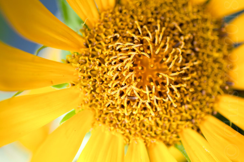 """""""Sunflower in Brooklyn"""", 2010"""