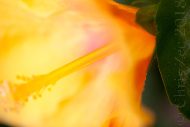 """""""Hibiscus"""", 2010"""