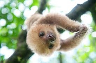 Sloth- a deadly sin, a lovely way to spend a Sunday, and one of the many animals you'll encounter as a part of A Moveable Feast IV: Costa Rica, taking reservations now.
