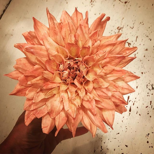 Another big beautiful #sugardahlia ! I'm becoming obsessed with these gorgeous blooms which can grow to the size of a dinner plate. This one is more luncheon size 🤣 I'm inspired all the time by the amazing dahlias of @floretflower - giving me ideas on color, size and shape. ... #gumpasteflowers #cakedecorating #cakelovers #cakeinspiration #cakers #bakers