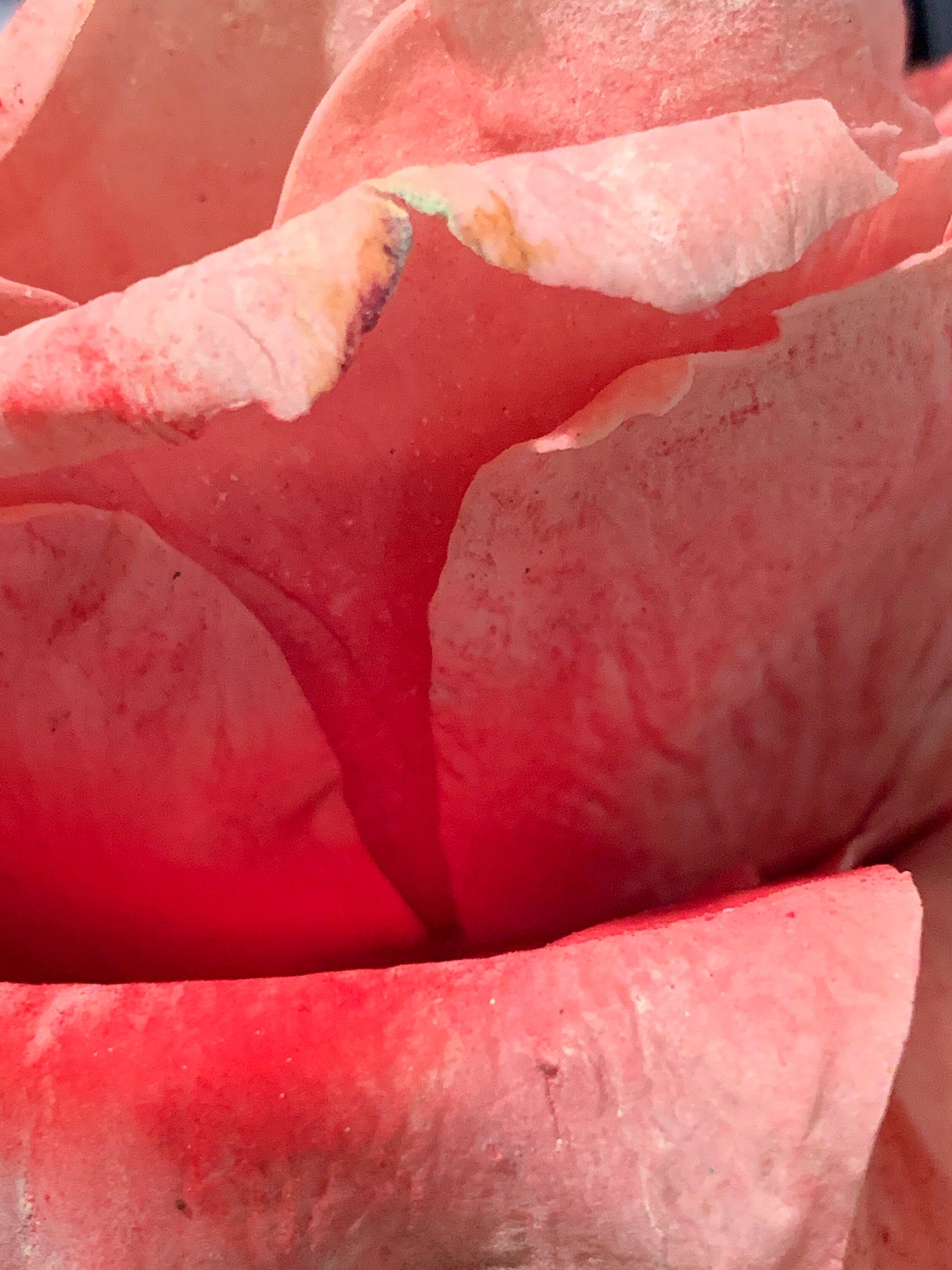 Close up of sugar rose