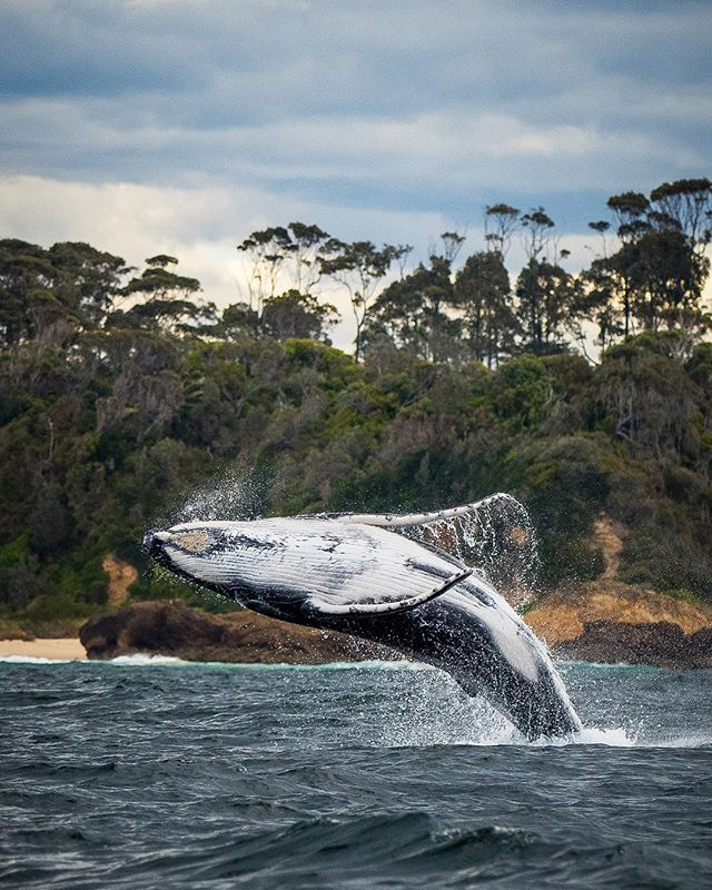 These majestic creatures have migrated north and will be heading back south soon. Did you know that Narooma is one of the best places to see the humpbacks! Give us a call to get up close! 🐋😀