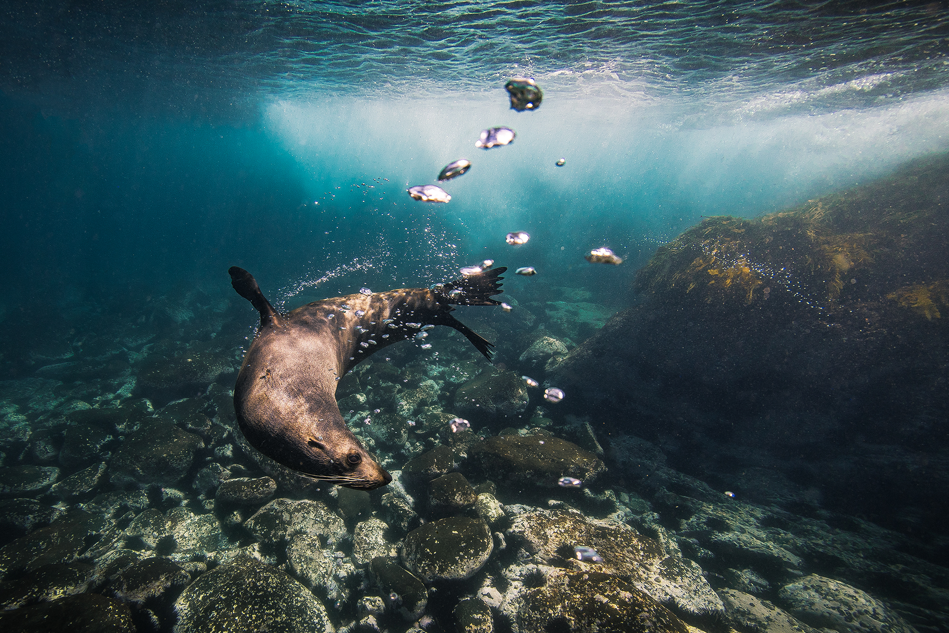 Snorkel with seals at Montague Island South coast NSW
