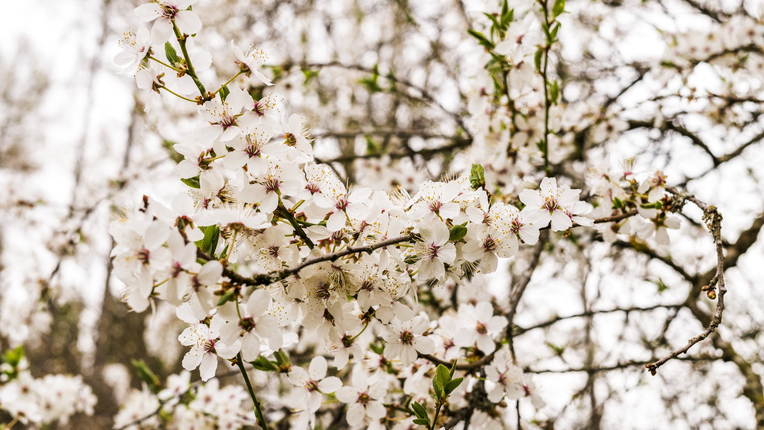 blossom-flower-spring-branch-pink-cherry-blossom-1438473-pxhere.com.jpg