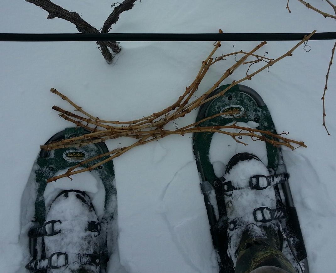 gathering-canes-for-bud-cutting.jpeg