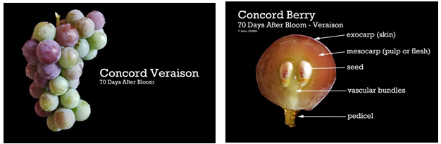 Concord-70-days-post-bloom.png