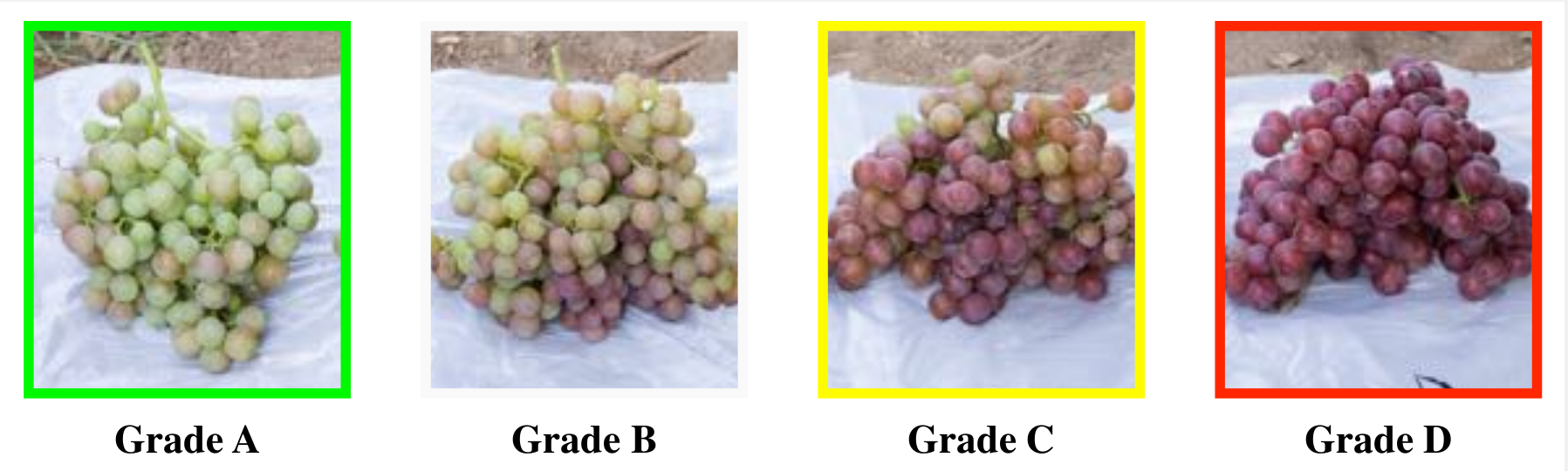 Figure 1: Grape clusters categorized into 4 grades depending on their color development.