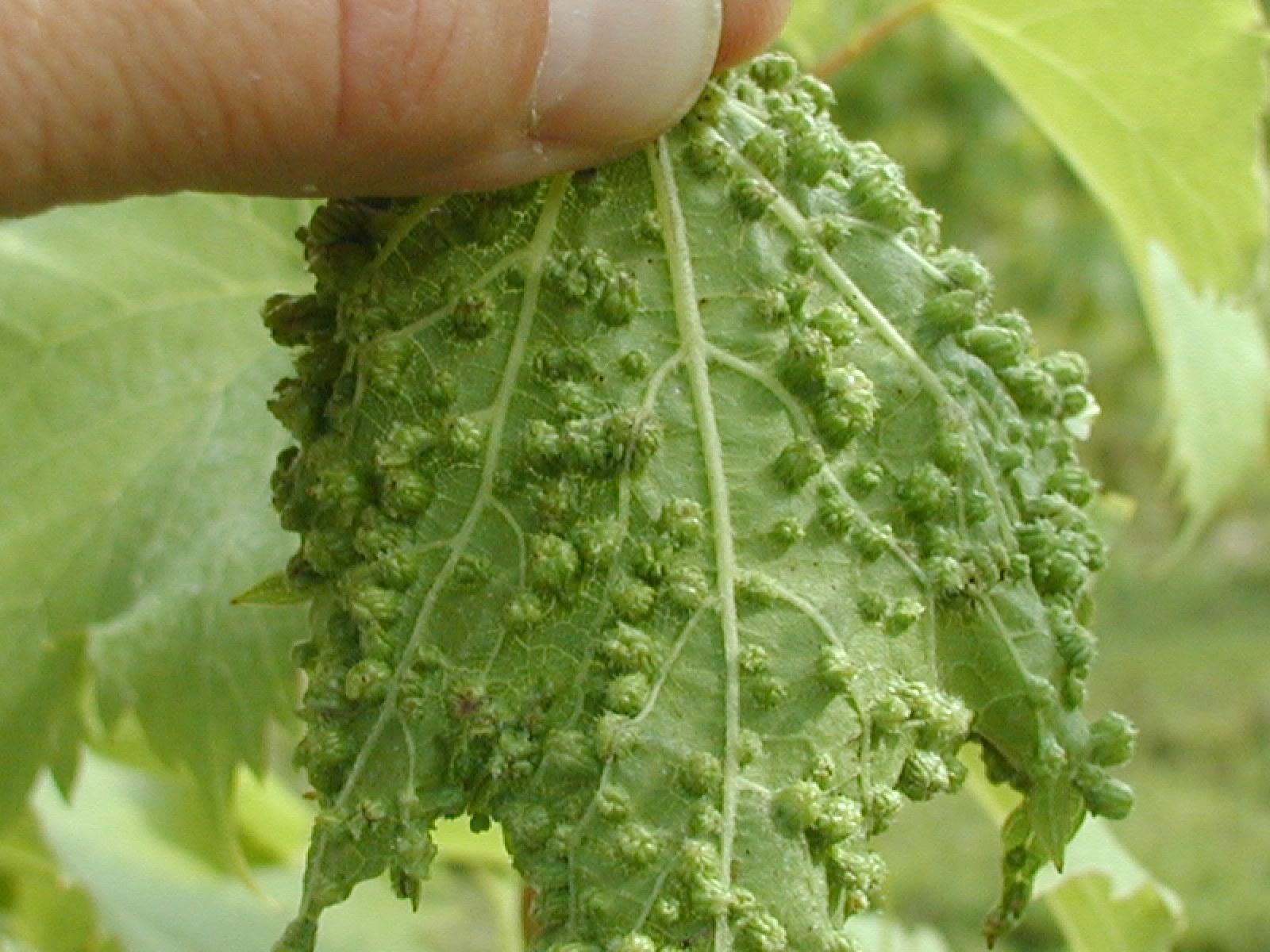 Phylloxera on leaf2.jpg