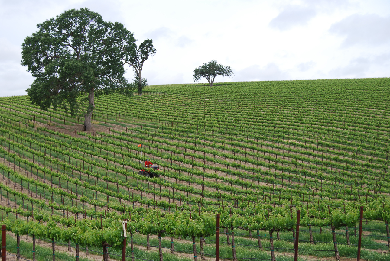 tree_vineyard.jpg