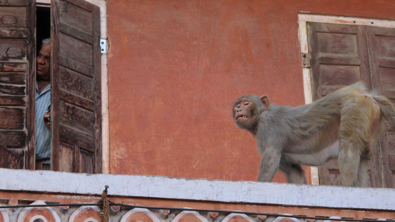 Jaipur | Rajasthan | Pink city | Monkeys city | Monkey | ©sandrine cohen