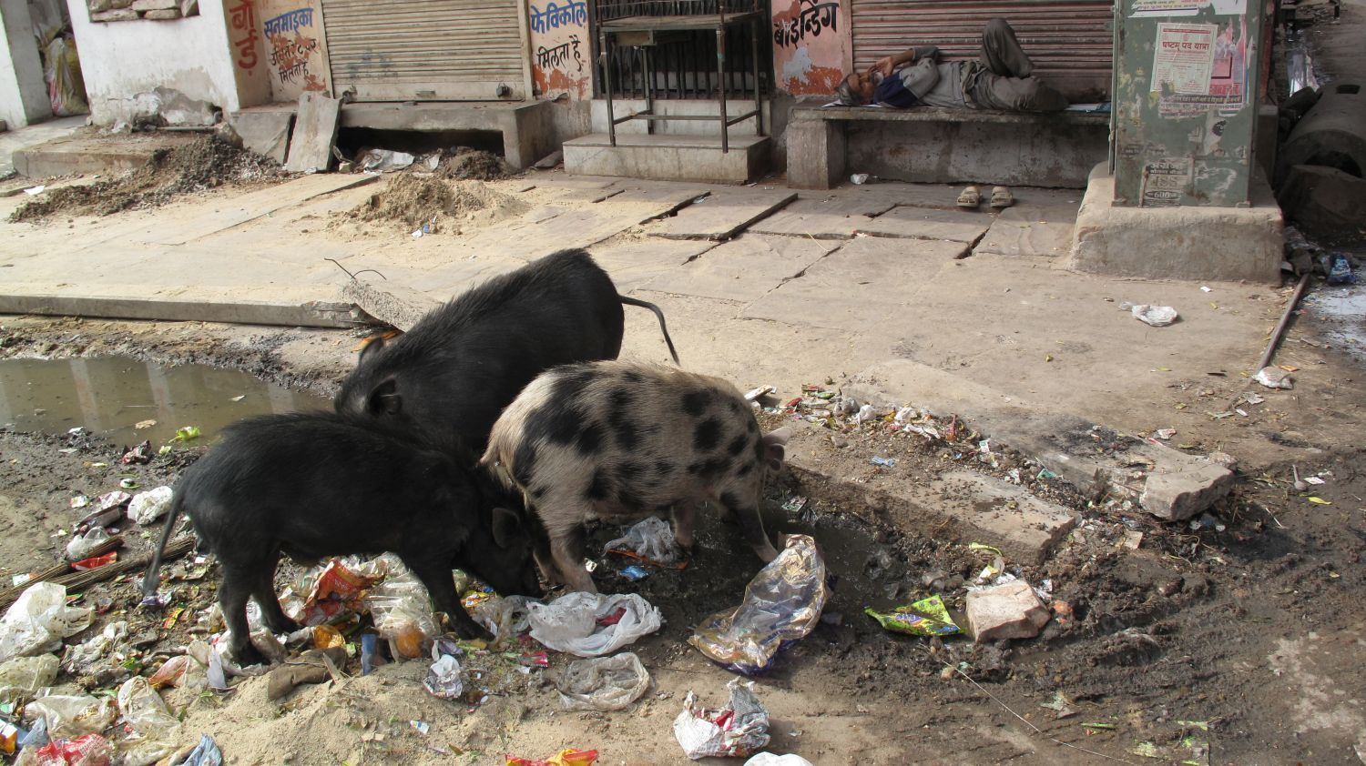 Jaipur | Pink city | Rajasthan | Coats and pigs in Jaipur | ©sandrine cohen