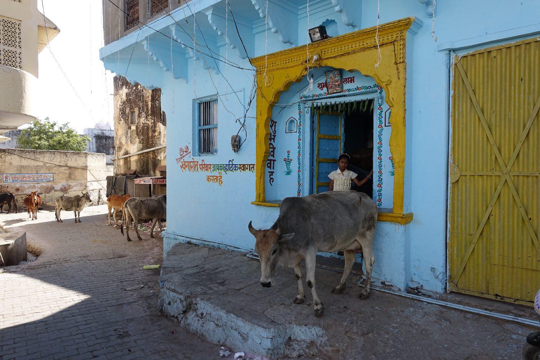 Pushkar | Rajasthan | Sacres cow near Blue house | Indian sacred cow | | ©sandrine cohen