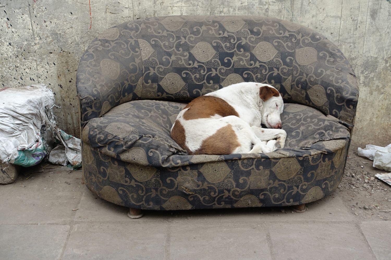 Dog in a sofa at Old Delhi   Delhi   India   photo sandrine cohen