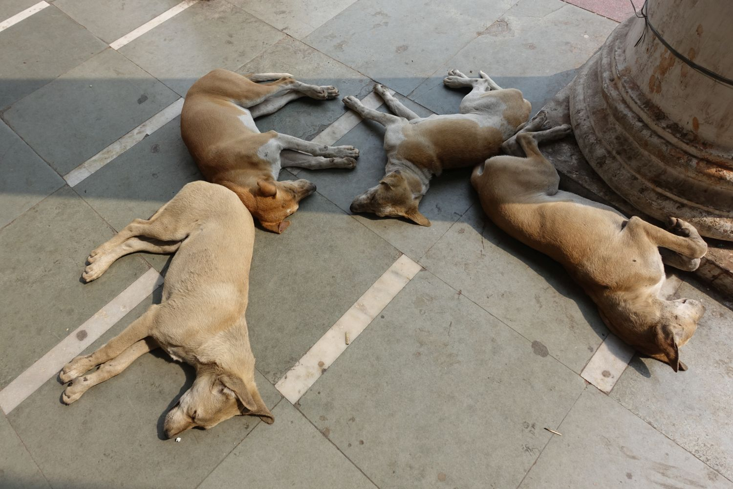 4 dogs at Connaught Place   New Delhi   India   photo sandrine cohen