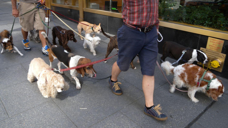 Dogs sitter on 5th avenue   New York   photo sandrine cohen